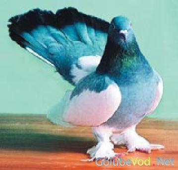 Астраханские голуби
