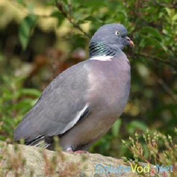 Бурый голубь
