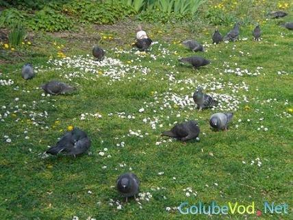 Венский короткоклювый цветной голубь