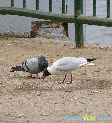 Голуби-чайки