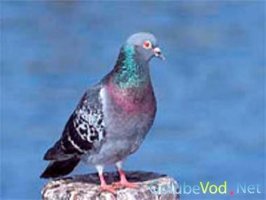 Поиск при помощи голубей