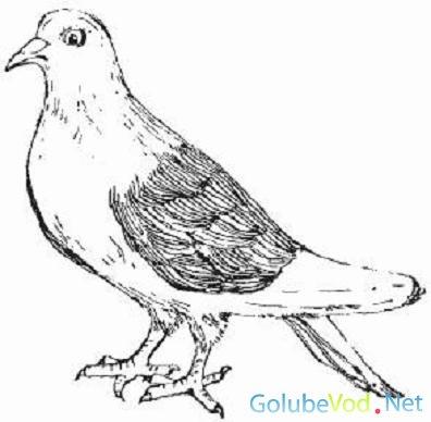 Порода кружастых голубей