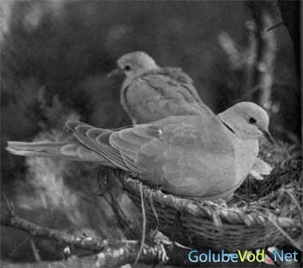 Гнездование и обитание горлиц каролинского вида.