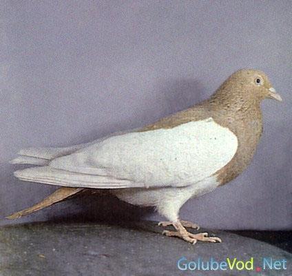 Группы гонных голубей.