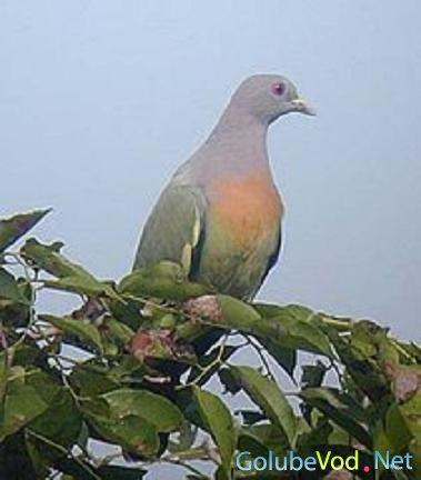 Розовошейный голубь