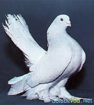 Украшения статных голубей.