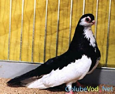 Рост породы черно-пегих голубей.