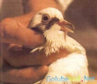 Заболевания голубей. Наследственные