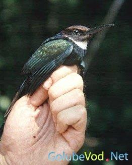 Семейство Якамары (Galbulidae)