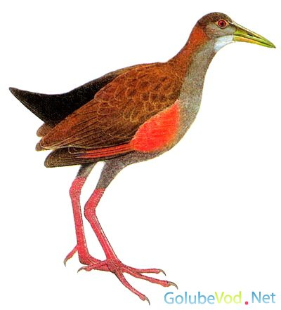 Исполинский лесной пастушок (Eulabeornis ypecaha)