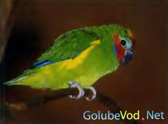Златобокий фиговый попугайчик (Opopsitta diophthalma)