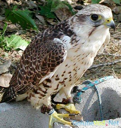 Балобан (Falco cherrug)