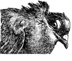 Авитаминозы у голубей