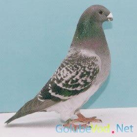 Американские выставочные гонные голуби