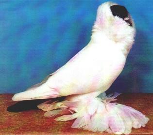 Шмалькальденские черноголовые голуби