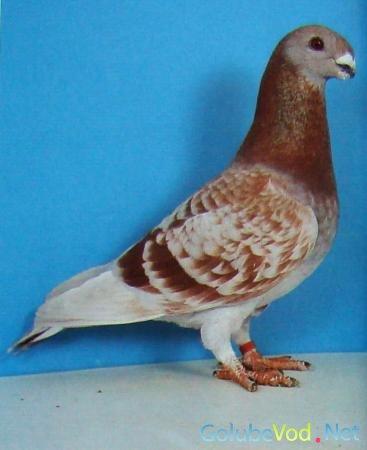 Антверпенские выставочные голуби