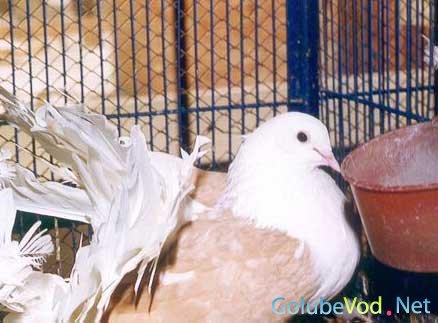 Венгерские исполинские голуби