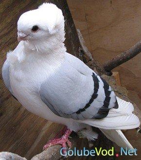 Гонные голуби