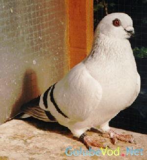 Дамасские голуби