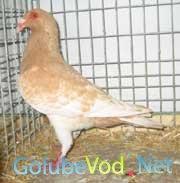 Испанские голуби