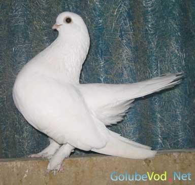 Казанские шеебойные голуби