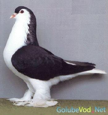 Лахорские голуби