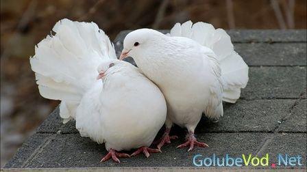 Шесть декоративных голубей депортируют из Новосибирска обратно в Душанбе
