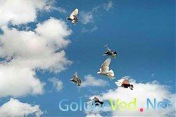 Голуби стали причиной «войны» в Котово