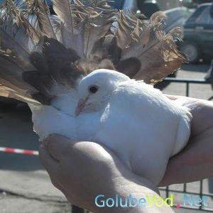 В Крыму впервые представили две новые породы голубей