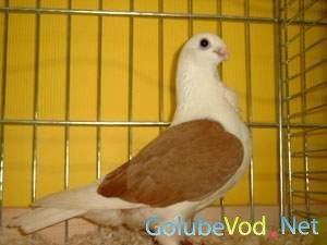 Аахенские чайки с лаковыми щитками