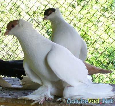 Алтайские статные шалевые голуби