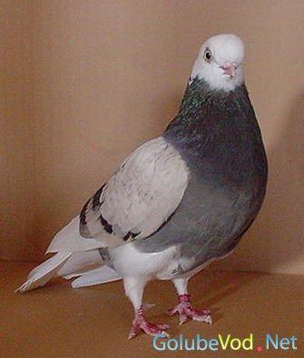 Американские лётные лысоголовые голуби
