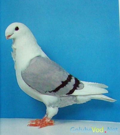 Антверпенские голуби