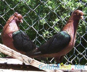 Архангельские голуби