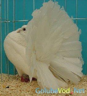 Павлиньи голуби (Павлины)
