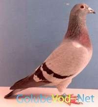 Спортивные голуби (почтовые)