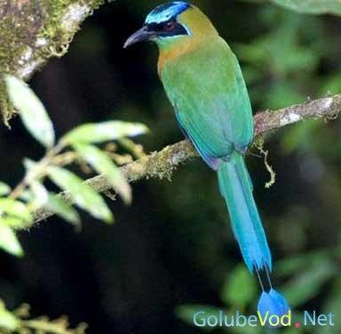 Синешапочный момот (Momotus momota)