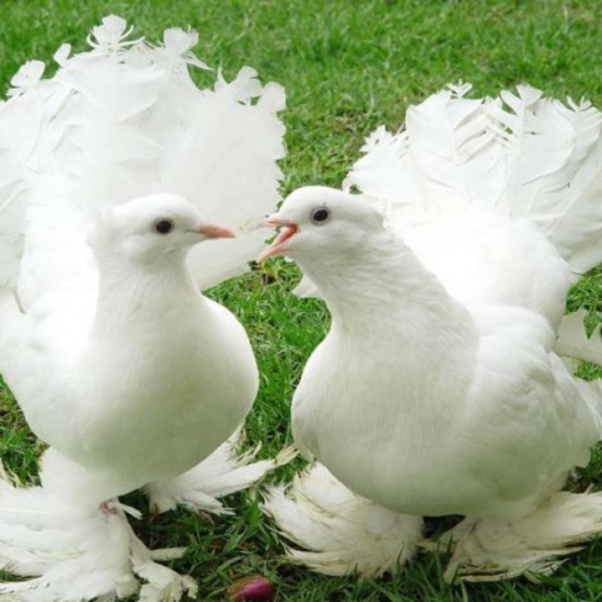 http://golubevod.net/uploads/rimages/news/3100/.thumbs/10282887_1244138876_pigeons-3.jpg