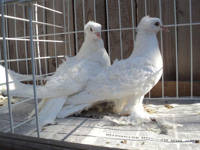 Как лечить голубей?