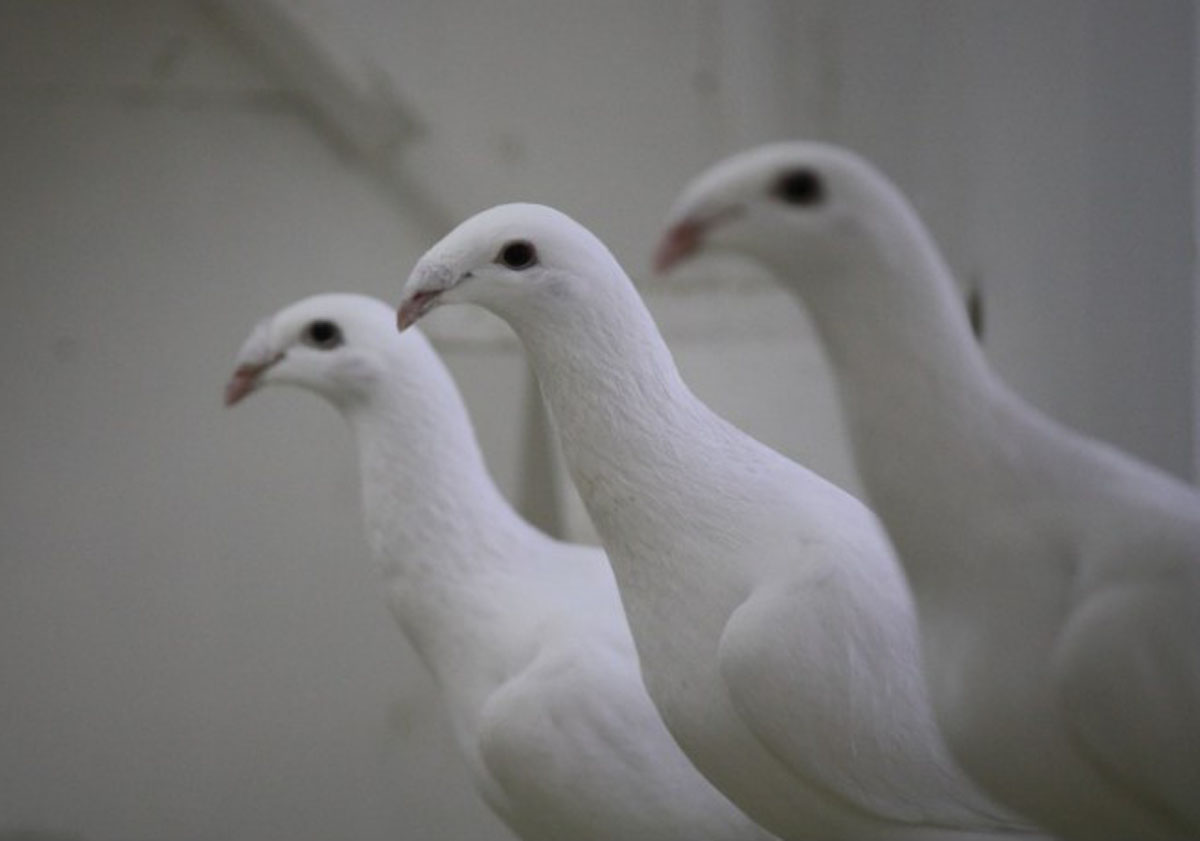 Русский почтовый выставочный голубь
