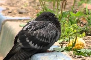 Болезни голубей: причины, симптомы, лечение