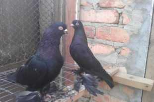 Как паровать голубей