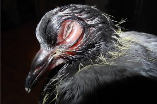 Орнитоз у голубей: симптомы и лечение