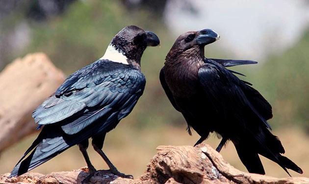 Ворон — умная и мистическая птица