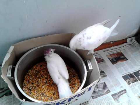 Вертячка у голубей: лечение, симптомы, этапы развития