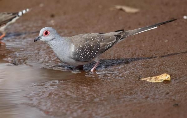 Голубь птица. Описание, особенности, виды, образ жизни и среда обитания голубя