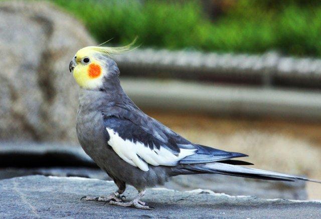 10 видов попугаев, которых легко научить говорить