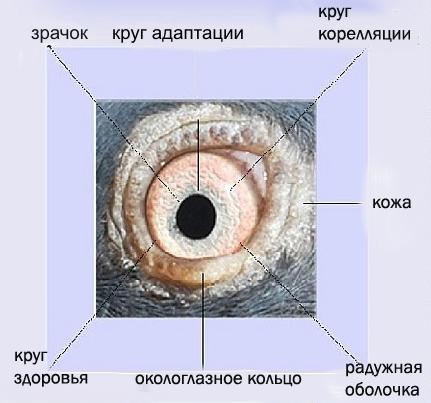 Какого цвета глаза у голубей?