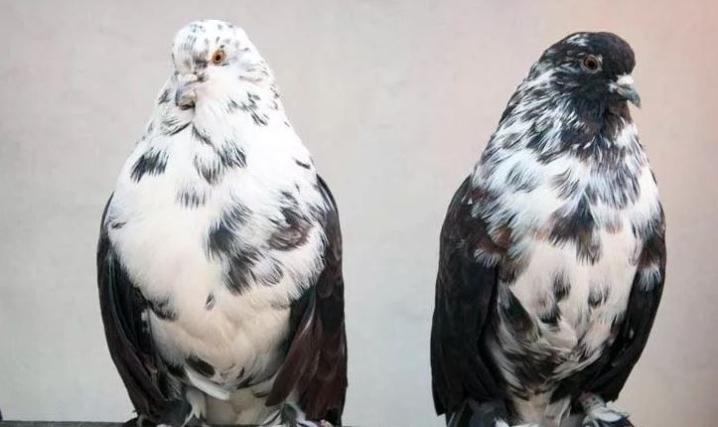 Классификация пород и цвета голубей
