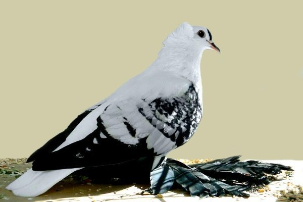 Обзор самых популярных пород голубей